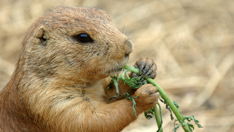 Download Prairie Dog eating stock photo. Image of munch, mammal - 199424