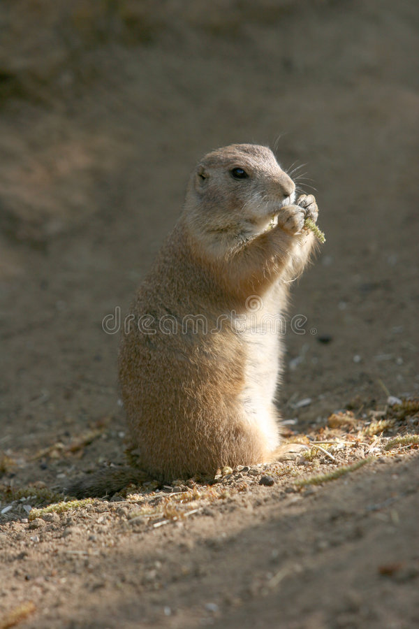 Download Prairie dog eating stock photo. Image of outdoors, activity - 2299160