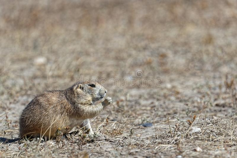 A prairie dog eating in the Badlands royalty free stock photography