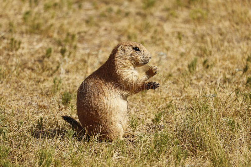 Prairie Dog eating grass royalty free stock image