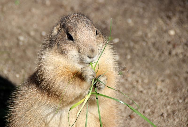 Prairie dog is eating grass royalty free stock photography