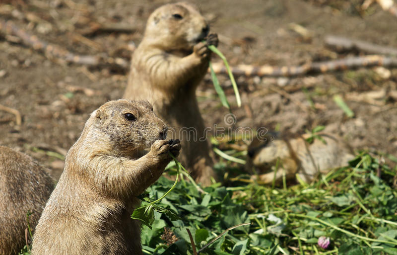 Prairie dog eating royalty free stock photography