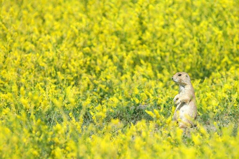 Prairie Dog Field stock image