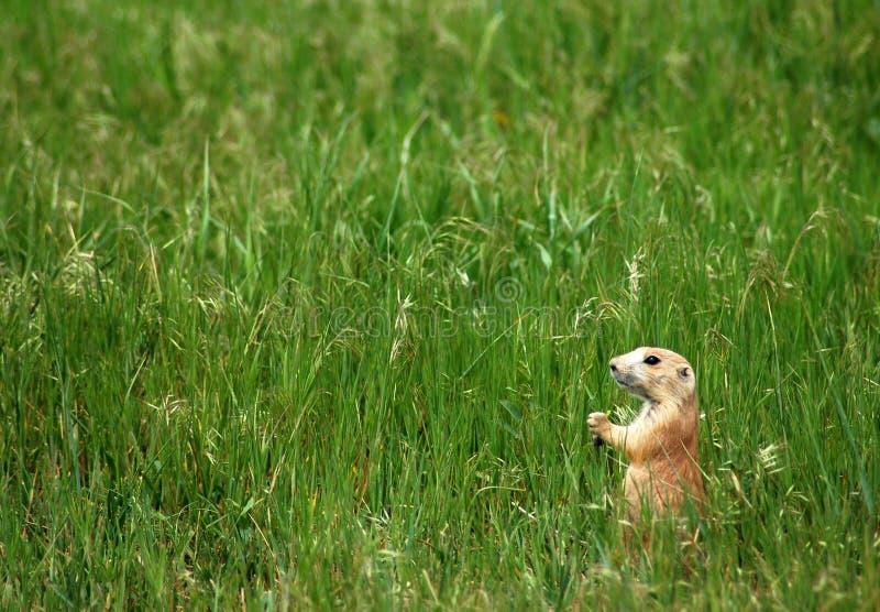Prairie Dog in Field royalty free stock photo