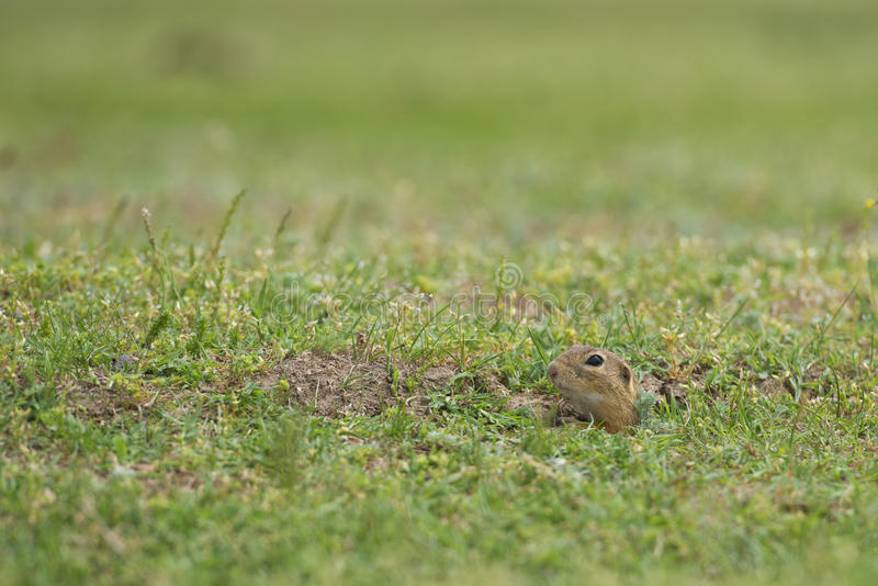 Prairie dog on field in summer time royalty free stock images