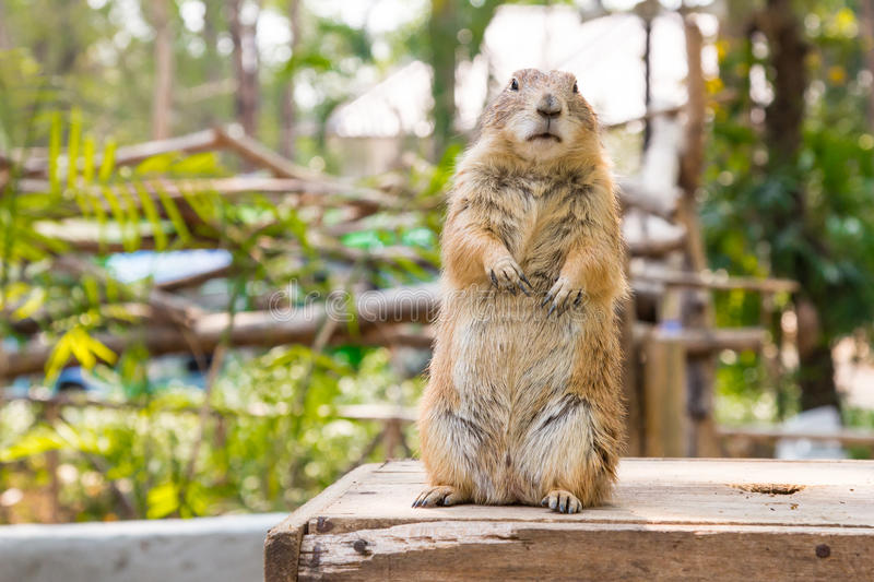 Prairie dog in the garden stock images
