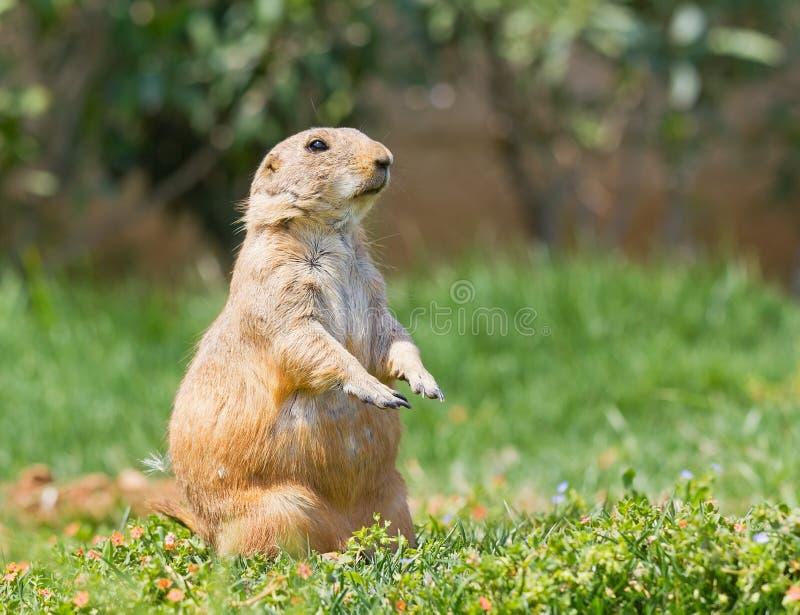 Prairie dog on grass stock image