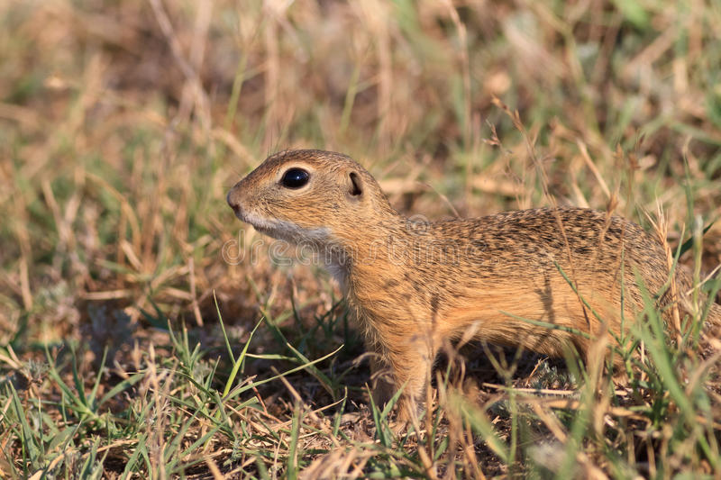 Prairie Dog In The Grass Stock Images