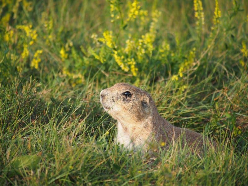 Prairie dog hiding royalty free stock photos