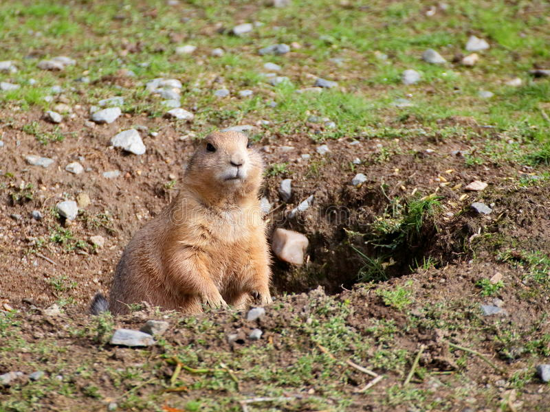 Prairie dog in the hole closeup view royalty free stock photo