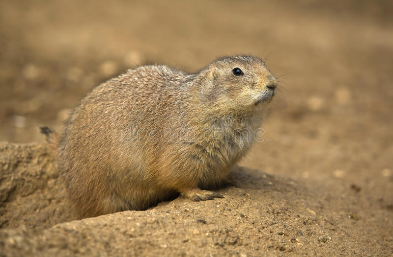 Prairie dog II. These stout-bodied rodents grow to be between 30 and 40 centimetres long, including the short tail and weigh between 0.5 and 1.5 kilograms. There royalty free stock images