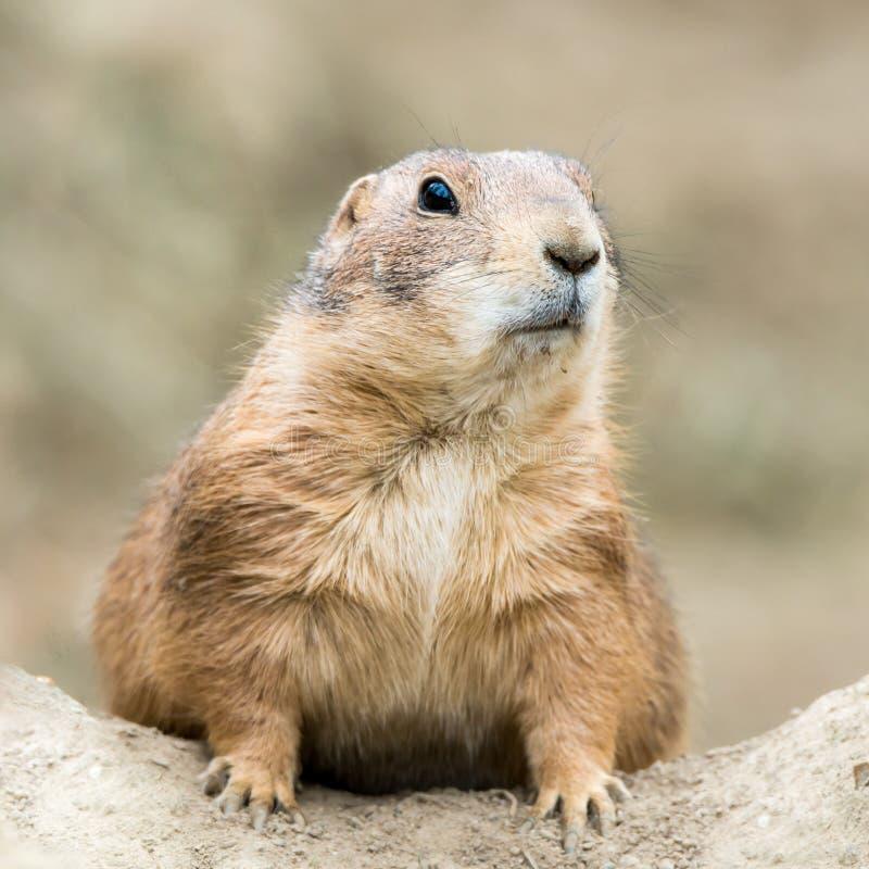 Prairie Dog IV royalty free stock images