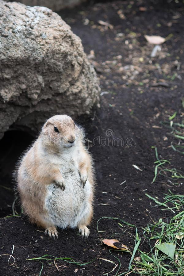Prairie dog stock images