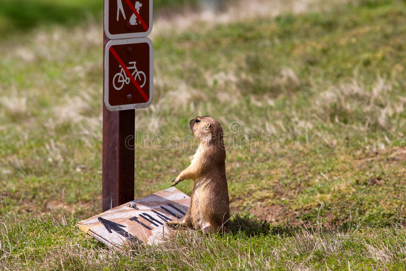 Prairie Dog. Looking at sign, South Dakota, U.S royalty free stock image