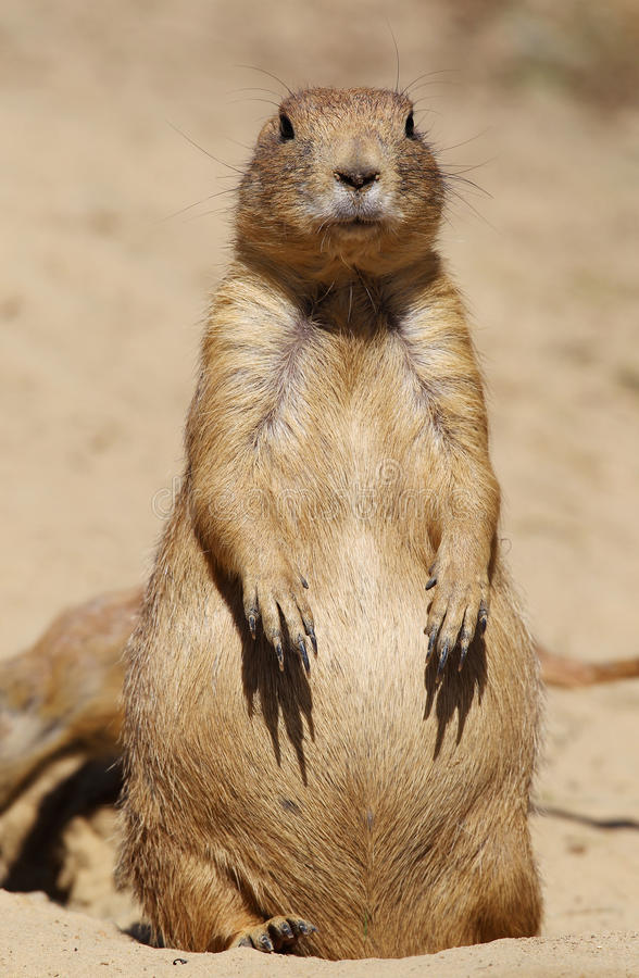 Download Prairie dog looking at you stock photo. Image of wildlife - 20611818