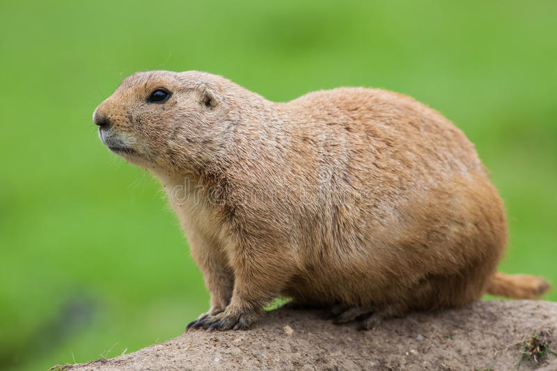 Prairie dog. Marmot rodent in close up isolated against plain gr. Prairie dog Cynomys ludivicianus. Black-tailed marmot rodent in close up on earth mound royalty free stock images