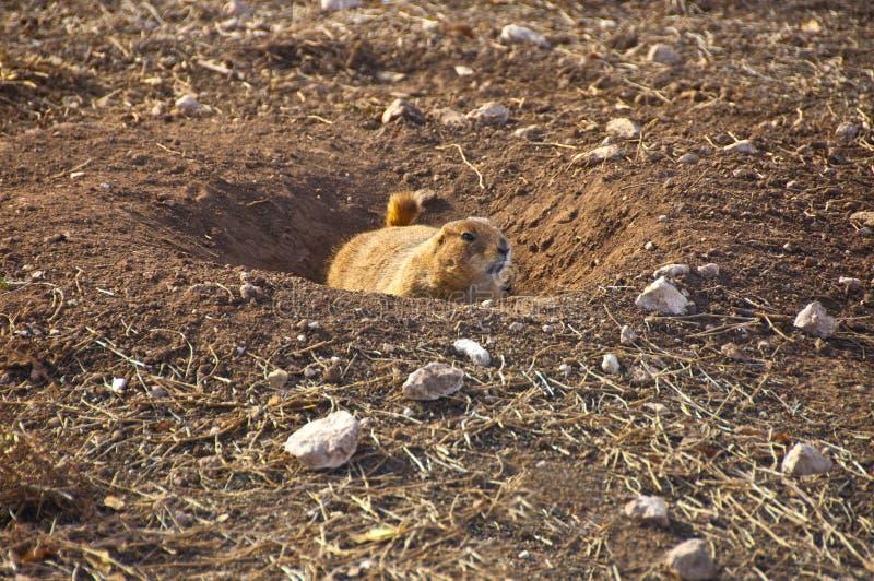 Prairie Dog One stock photo