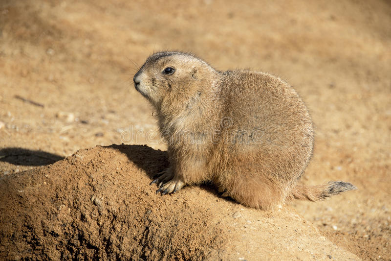 Prairie Dog. Photographed up close. s genus Cynomys are herbivorous burrowing rodents native to the grasslands of North America. The five species are: black stock photo