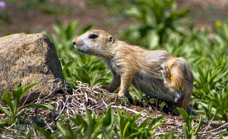 Prairie Dog. royalty free stock photography