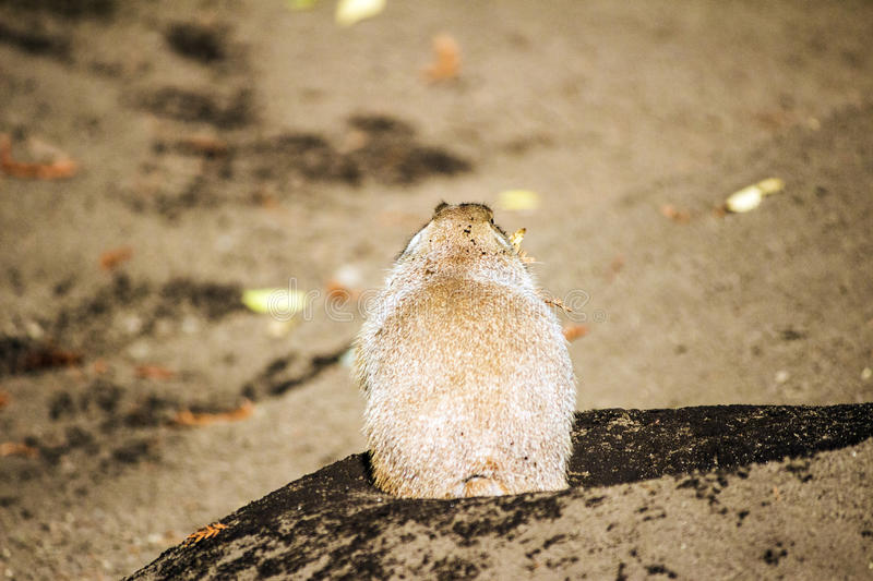 Prairie dog showing it`s back. A prairie dog showing it`s back royalty free stock photos