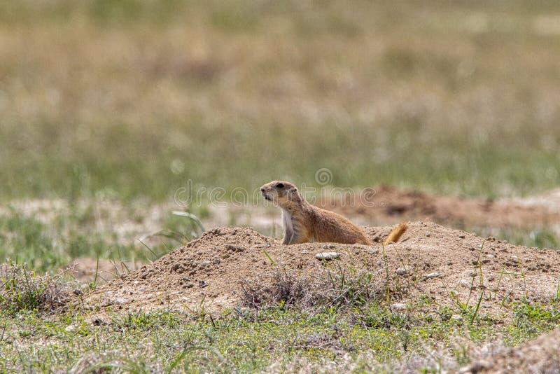 Prairie Dog sitting at burrow stock image