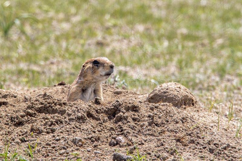 Prairie Dog sitting at burrow royalty free stock images