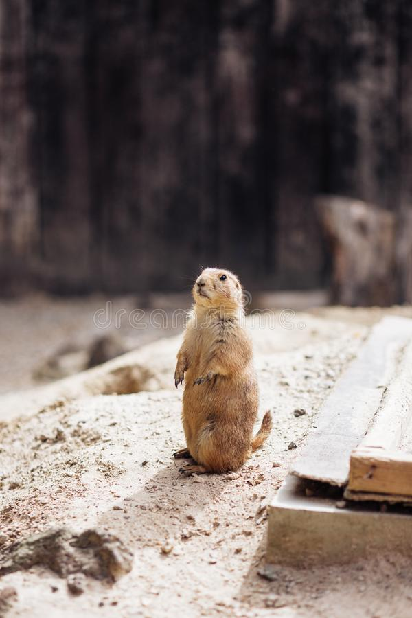 Prairie dog standing upright on the ground. Summer royalty free stock images