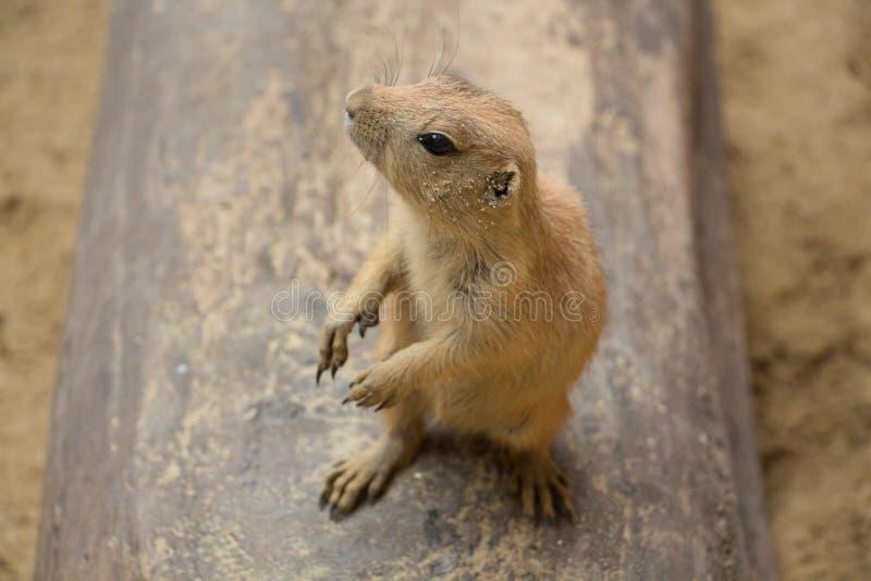Prairie dog. stock images