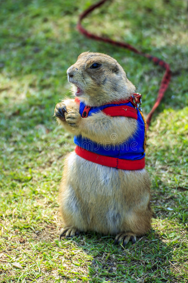 Prairie dog wearing a blue shirt on field in summer stock photography