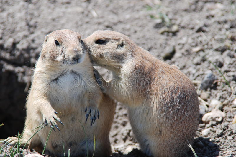 Download Prairie dogs stock image. Image of nails, animal, nature - 25506213