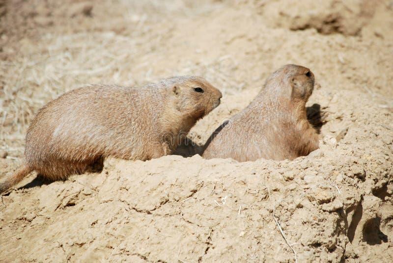 Prairie Dogs Stock Photo