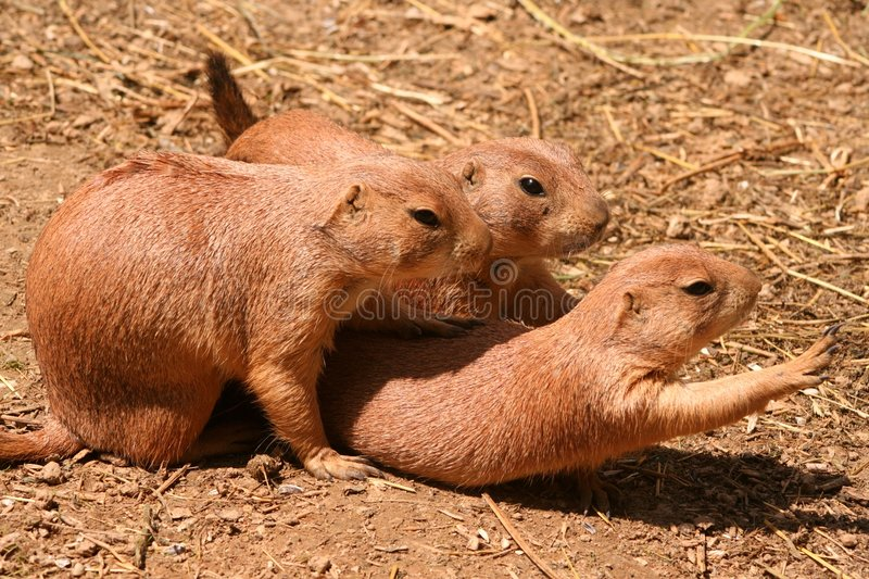Prairie dogs royalty free stock photography