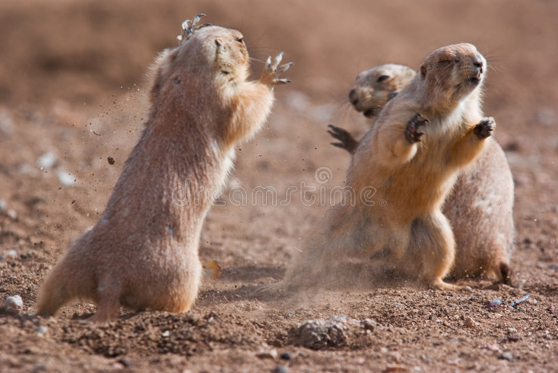 Download Prairie Dogs stock image. Image of attack, groundhog, conflict - 8289935