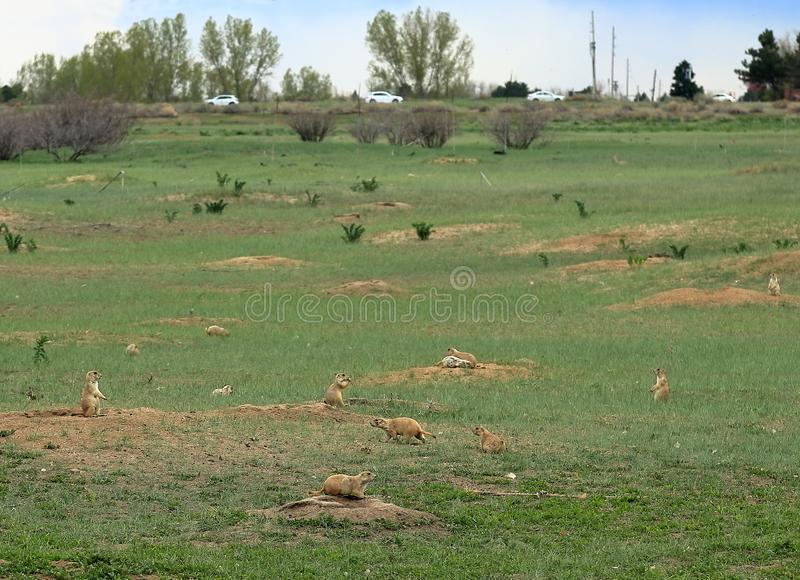 Prairie dogs colony in Cherry Creek State Park royalty free stock photography
