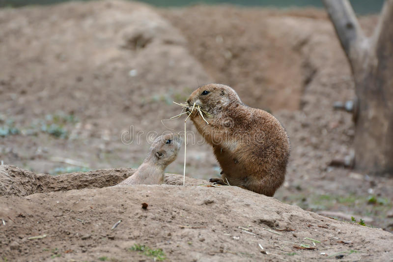 Prairie dogs. At the entrance to its burrow royalty free stock photo