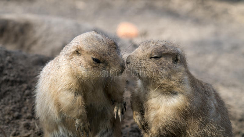 Download Prairie dogs interacting stock image. Image of interaction - 32974565