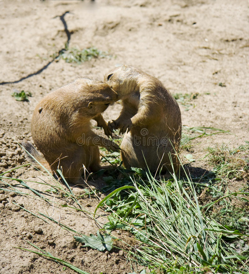 Free Prairie Dogs Kiss Royalty Free Stock Images - 22359579