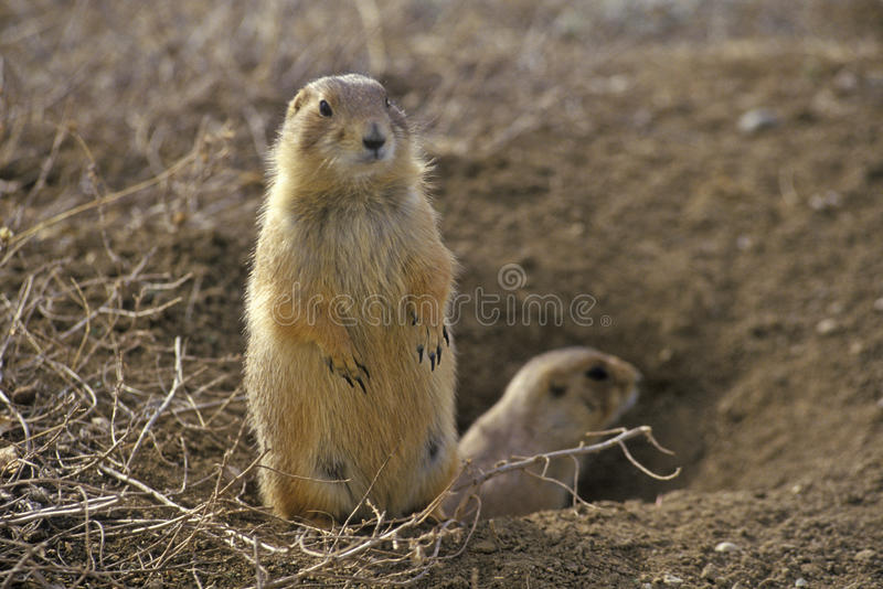 Prairie dogs, Prairie Dog Town, State Monument, Greycliff, MT stock images