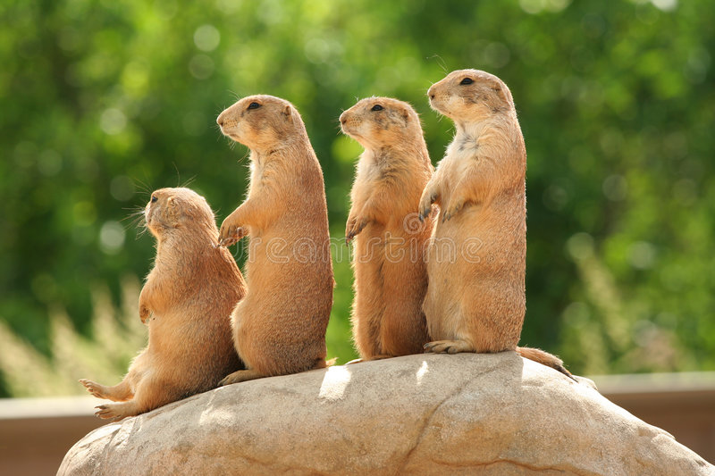 Prairie dogs on rock royalty free stock photos