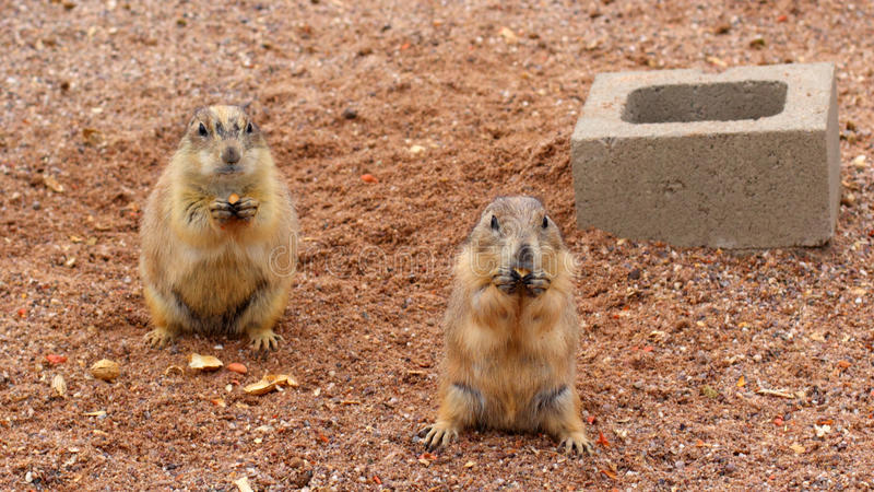 Prairie Dogs Snack Time stock images