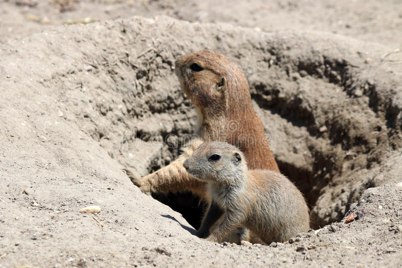 Download Prairie dogs stock image. Image of nature, brown, groundhog - 43042885
