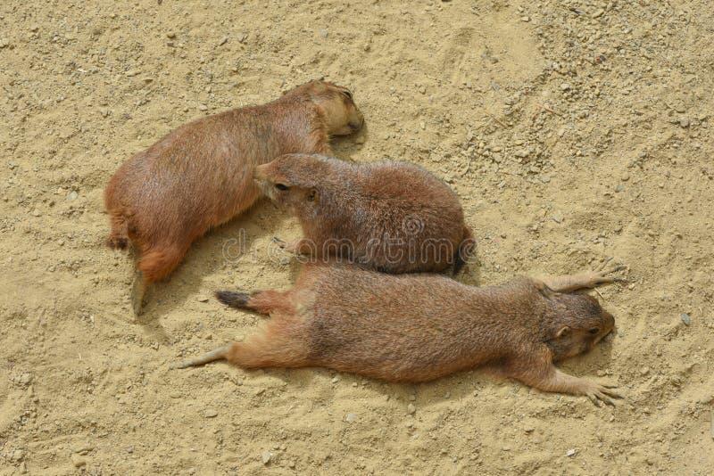 Prairie drie legt op het zand bij zonnige dag stock afbeelding