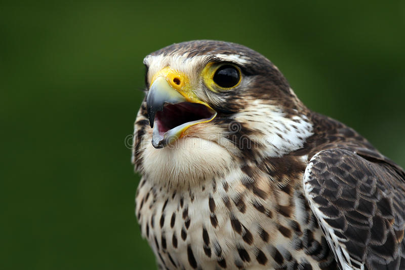 Download Prairie Falcon stock image. Image of prey, animals, outdoors - 10008041