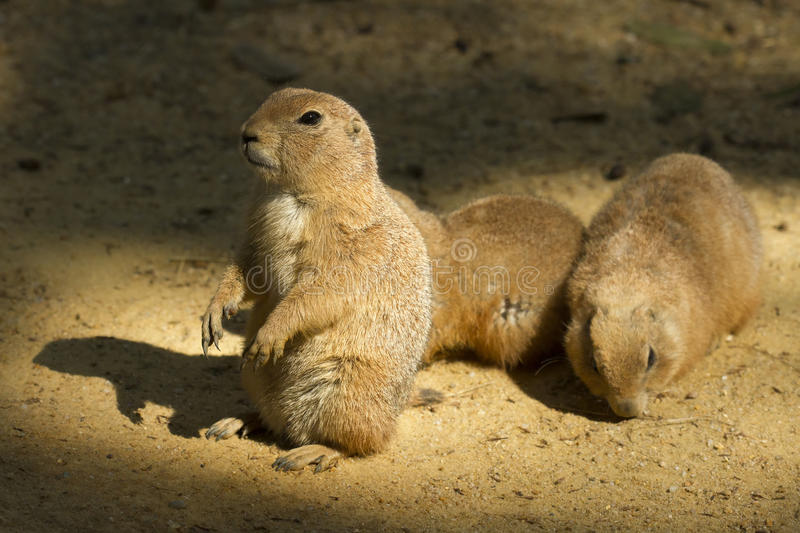 Download Prairie Family Royalty Free Stock Photography - Image: 27477597