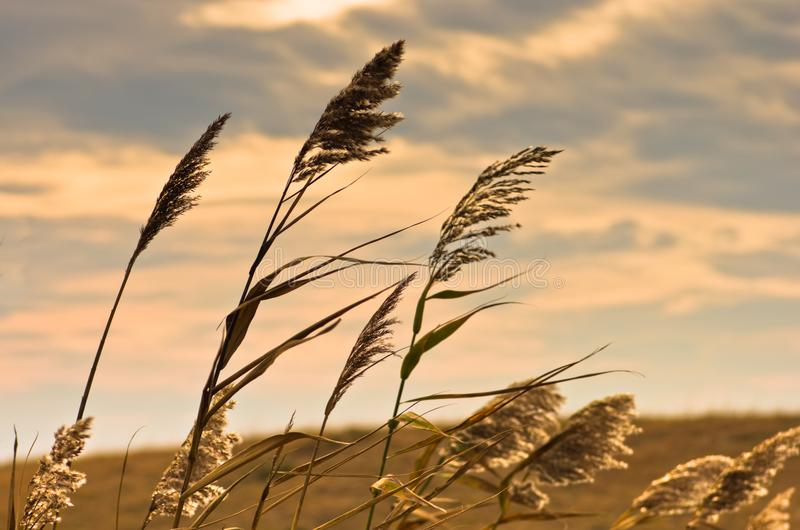 Prairie grass on a dry terrain against dark sky and rainy clouds. North Serbia stock photography