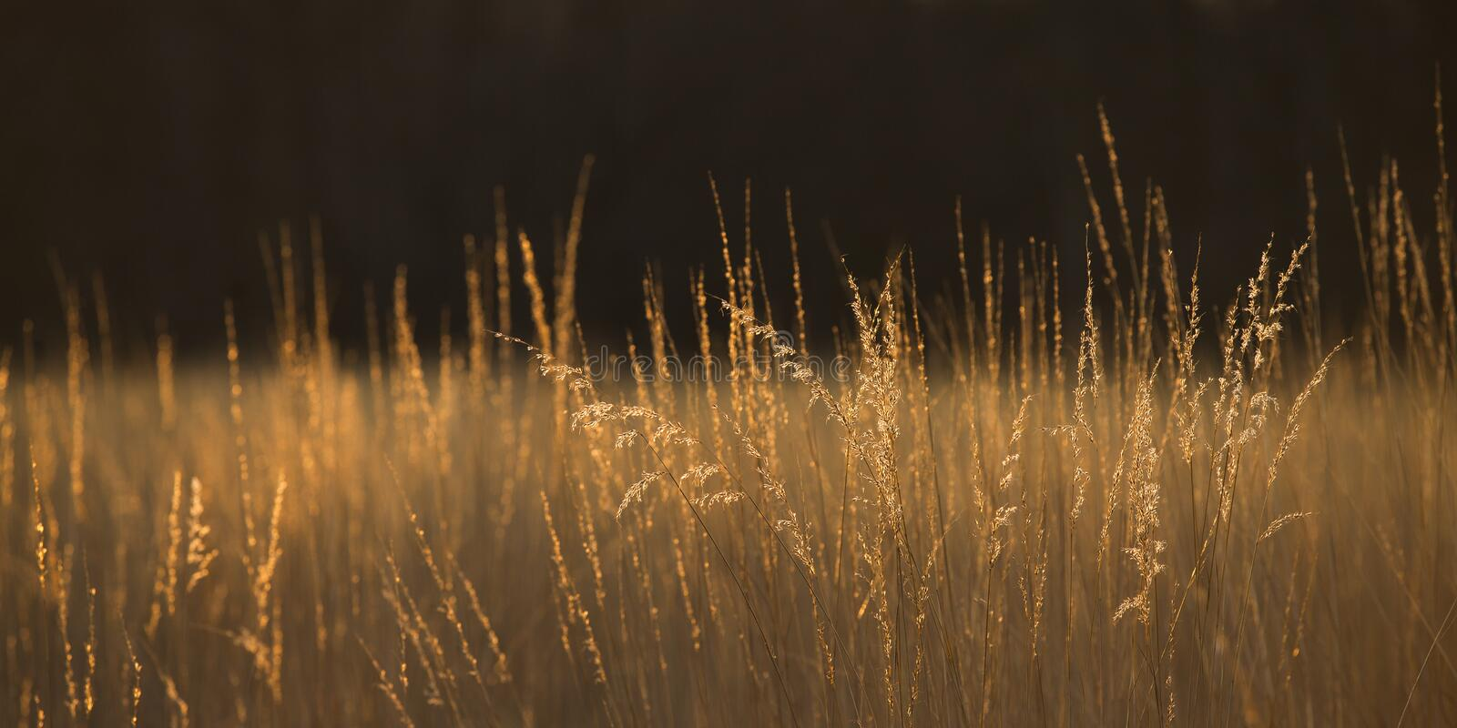 Prairie Grass Panoramic Abstract royalty free stock photography