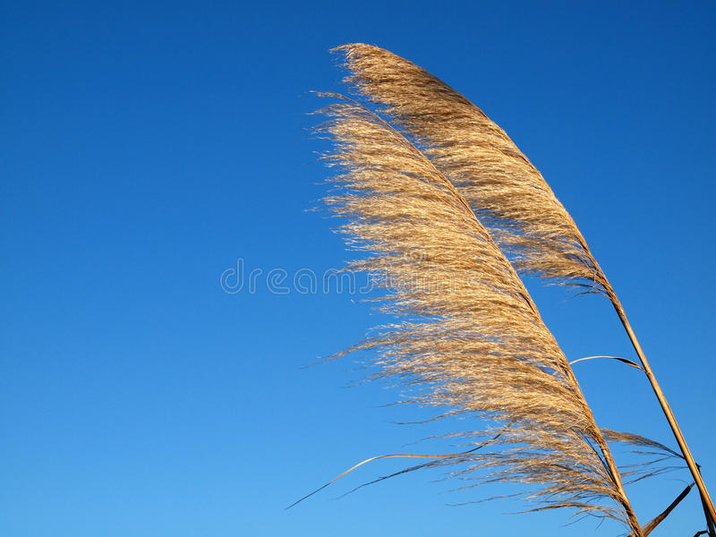 Prairie Grass in the Wind royalty free stock photography