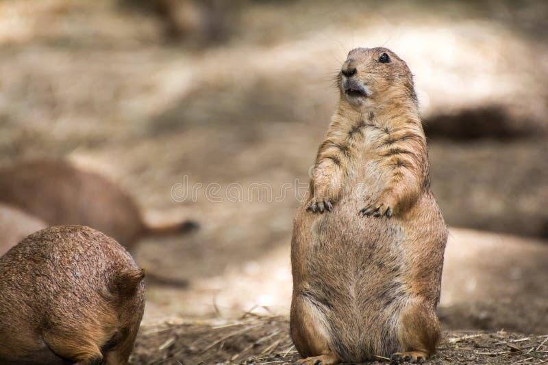 Prairie Hund lizenzfreies stockfoto