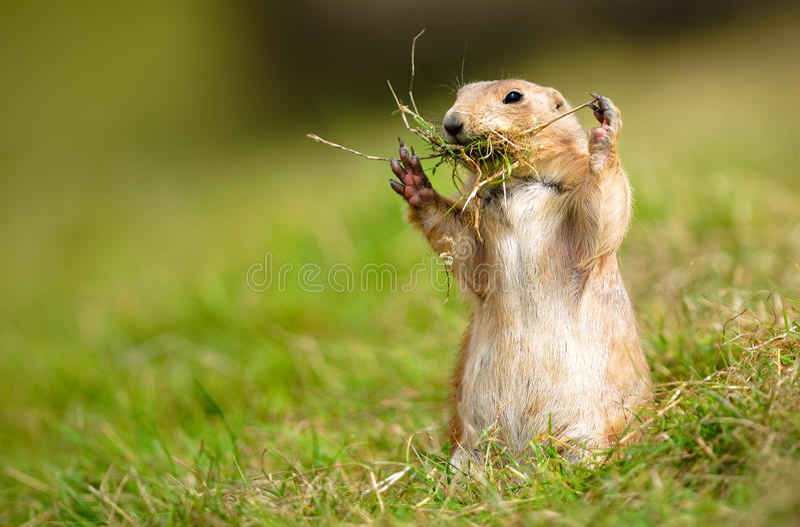 Prairie Marmot Gathering Twigs stock image