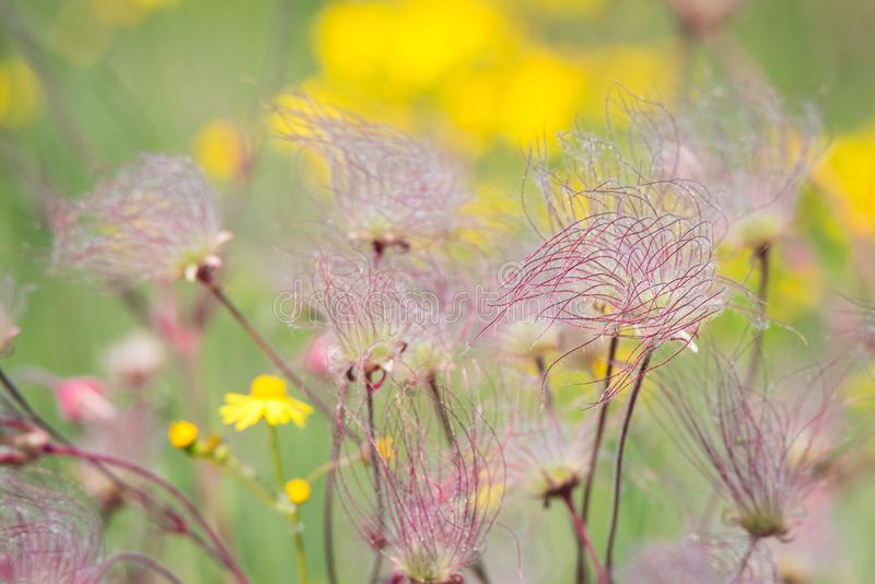 Prairie Smoke Wildflowers at Carden Alvar Provincial Park stock images